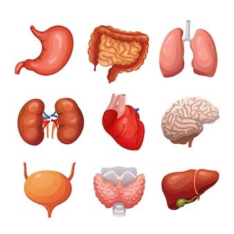 Menselijke interne organen. maag en longen, nieren en hart, hersenen en lever.