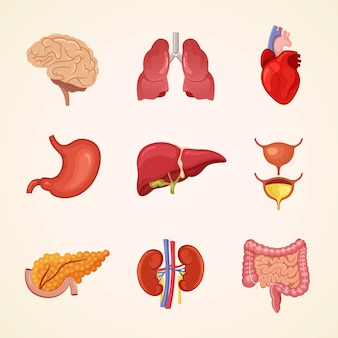 Menselijke inwendige organen