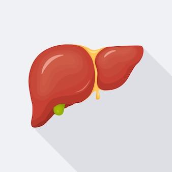 Menselijke lever, intern orgaan voor illustratie van de medische wetenschap anatomie
