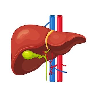 Menselijke lever op achtergrond. inwendig orgaan. galblaas, aorta, poortader, leverkanaal. medische wetenschap anatomie.