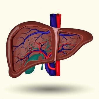 Menselijke lever pictogram