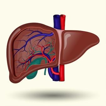 Menselijke lever teken, menselijke lever op witte achtergrond, menselijke lever pictogram,