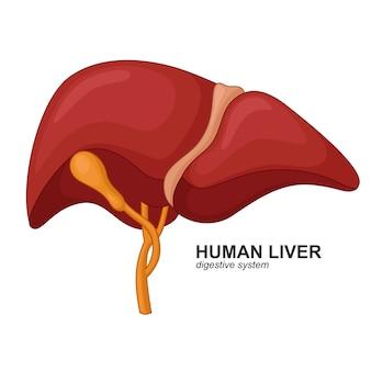 Menselijke lever