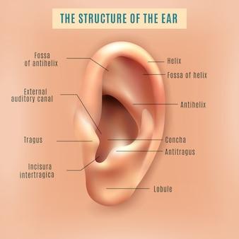Menselijke oor structuur medische achtergrond poster