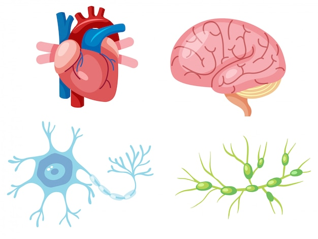 Menselijke organen en neuroncel