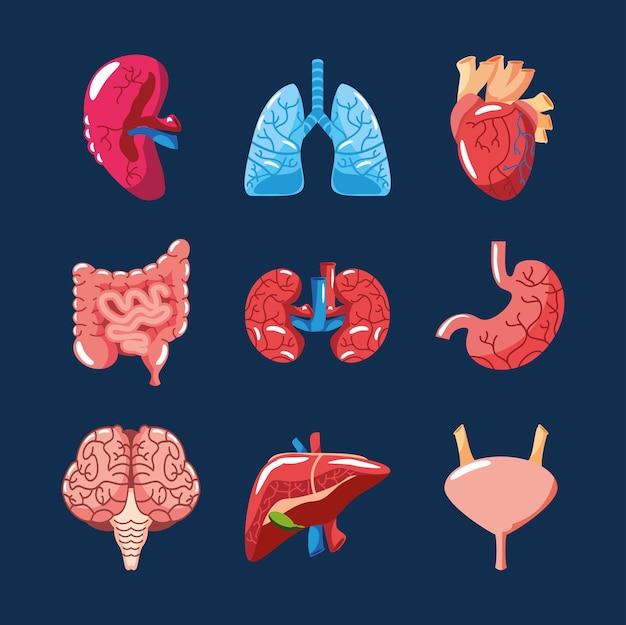Menselijke organen ingesteld