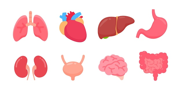Menselijke organen. interne delen van het menselijk lichaam concept van de studie van lichaamssystemen.