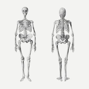 Menselijke skeletten vector tekening, geremixt van kunstwerken van george stubbs