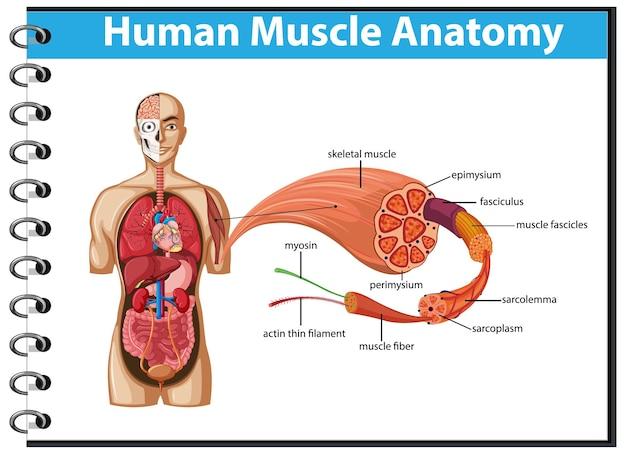 Menselijke spieranatomie met lichaamsanatomie
