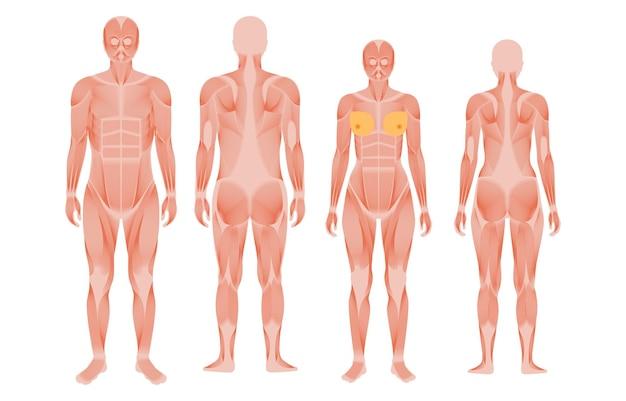 Menselijke spierstelsel anatomische poster. structuur van spiergroepen van mannen en vrouwen in vergelijking voor- en achteraanzicht. bodybuilding, fitness, sterk lichaamsconcept. geïsoleerde platte vectorillustratie