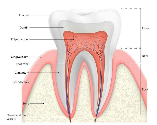 Menselijke tand structuur vectordiagram. doorsnedeschema dat tandlagen weergeeft, glazuur, dentine, pulp met bloedvaten en zenuwen, cement en structuren eromheen. tandheelkundige anatomie concept.