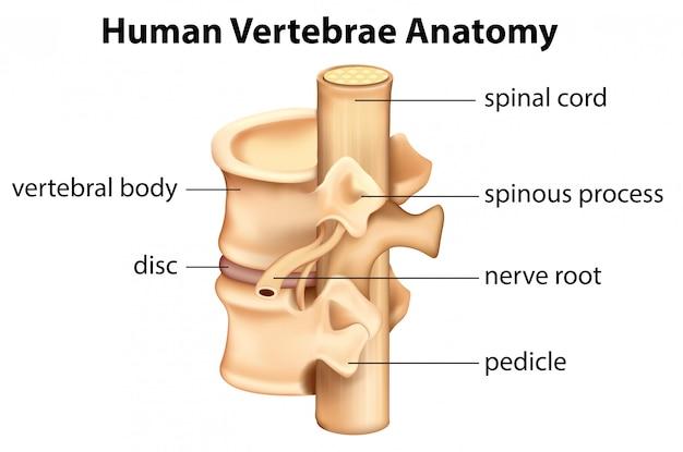 Menselijke wervels anatomie