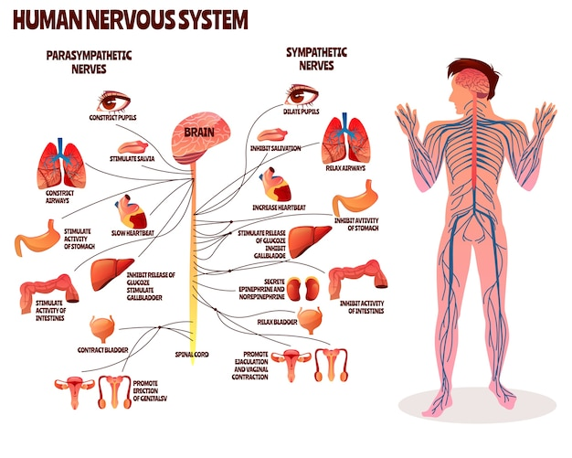 Menselijke zenuwstelsel illustratie. beeldverhaalontwerp van mensenlichaam met parasympathetic hersenen