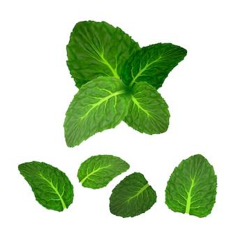 Mint leaf freshness spice kruidenplantenset