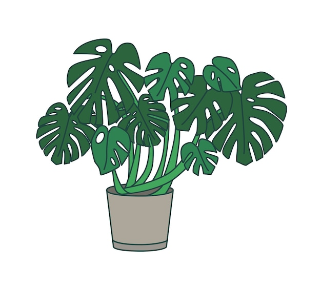 Monstera groeit in plantenbak.