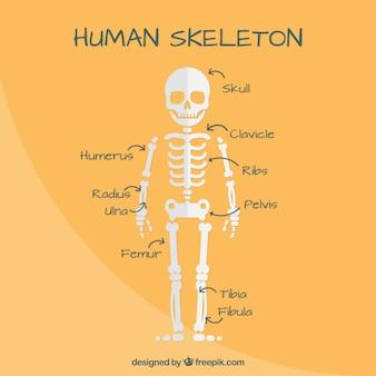Mooi menselijk skelet in plat design