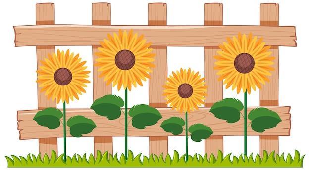 Mooie zonnebloemen in de tuin op wit