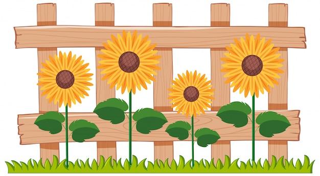 Mooie zonnebloemen in de tuin op witte achtergrond