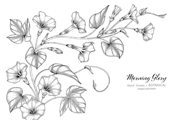 Morning glory bloem en blad hand getekende botanische illustratie met lijntekeningen.