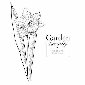 Narcis bloem en bladeren tekenen.