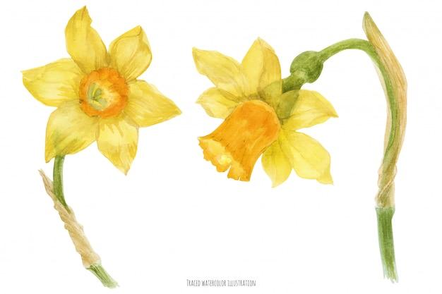 Narcis narcissus