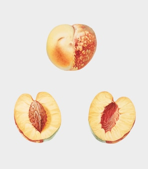 Nectarine van de illustratie van pomona italiana