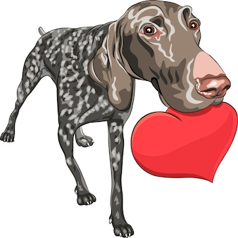 Nieuwsgierig lachende hond kurzhaar duitse korthaar pointer ras met een rood hart