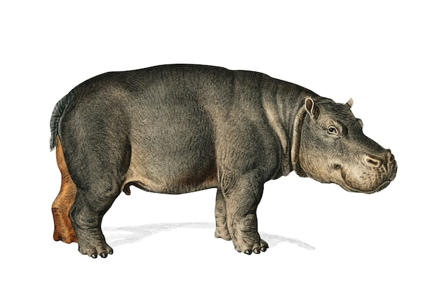Nijlpaard (hippopotame amphibie)