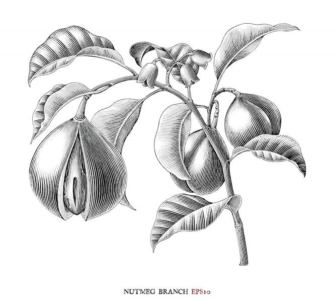 nootmuskaat tak botanische tekening vintage stijl zwart-wit clipart geïsoleerd