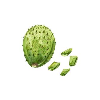 Nopal cactusplak en geheel. vector vintage broedeieren kleur illustratie. geïsoleerd op een witte achtergrond. handgetekend ontwerp