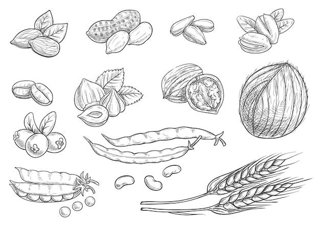 Noten, graan, bessen schets op wit. geïsoleerde kokosnoot, amandel, pistache, zonnebloempitten, pinda, hazelnoot, walnoot, koffiebonen, tarwe oren, koffiebonen erwten peul bessen