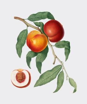 Okkernootperzik van de illustratie van pomona italiana