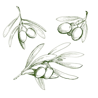 Olive schets element collectie. olijftak is met de hand getekend. schets van olijftak op witte achtergrond