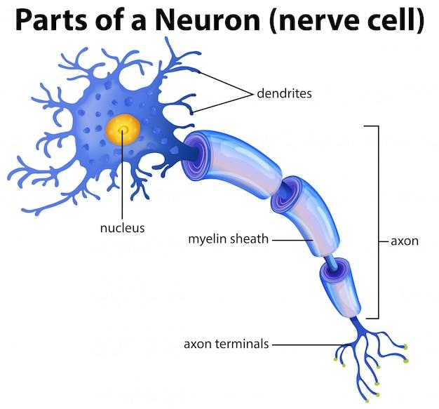 Onderdeel van een neurondiagram