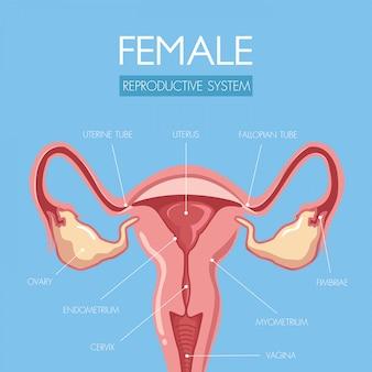 Onderwijs door deze prachtig ontworpen anatomie van de baarmoeder.