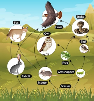 Onderwijsaffiche van biologie voor diagram van voedselketens