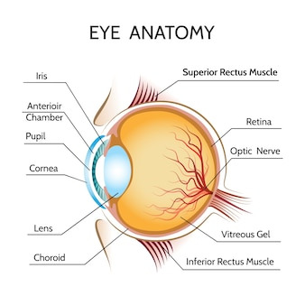 Oog anatomie illustratie