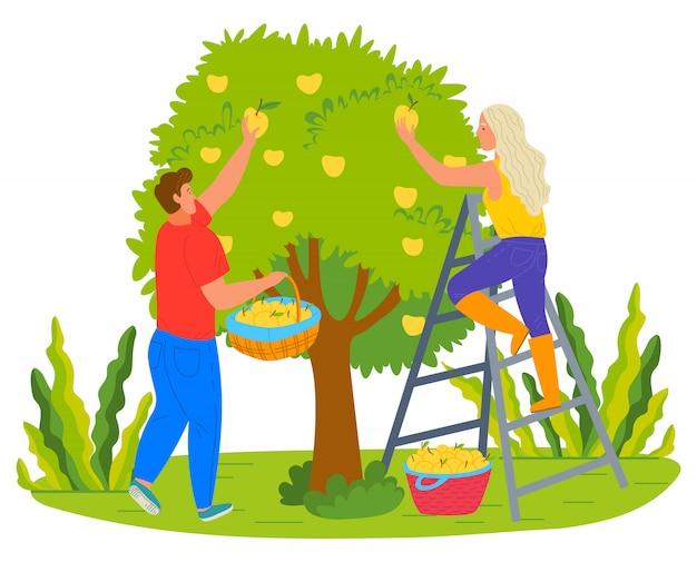 Oogstende boeren man en vrouw peren plukken
