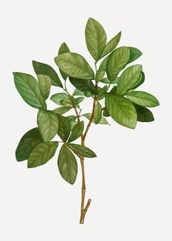Oosterse lederhoutplant