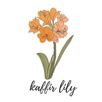 Oranje bloem op een witte achtergrond kaffir lily