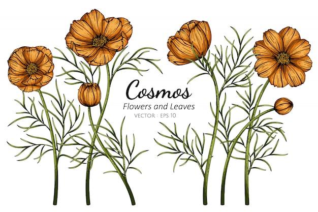 Oranje cosmos-bloem en bladtekeningillustratie met lijntekeningen op witte achtergronden.