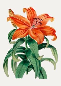 Oranje lelie sukashiyuri