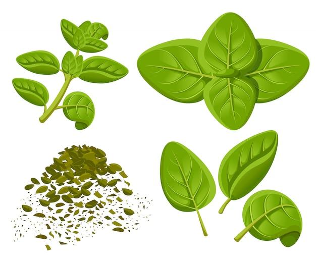 Oregano set tekening. oreganoplant met bladeren. kruiden gegraveerde stijl illustratie. gedetailleerde schets van biologische producten. koken pittig ingrediënt website-pagina en mobiele app