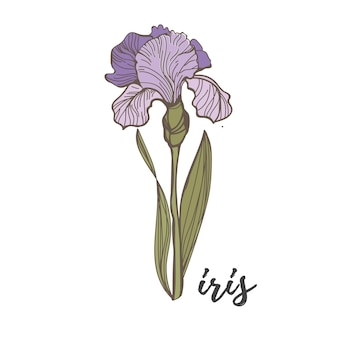 Paarse irissen op een witte achtergrond vector bloem hand tekening