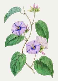 Paarse jacquemontia bloem