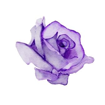 Paarse roos aquarel