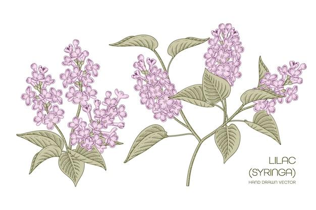 Paarse syringa vulgaris gemeenschappelijke lilac bloem set geïsoleerd op wit