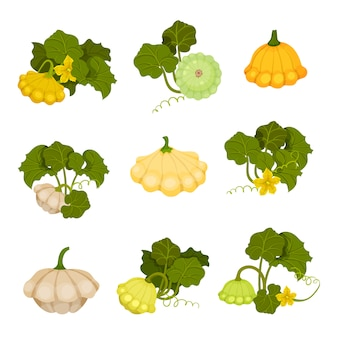 Patisson ingesteld. biologisch voedsel concept. illustratie.