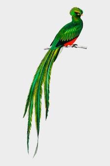 Pavonine quetzal (pharomachrus pavoninus) geïllustreerd door charles dessalines d'orbigny (1806-1876).
