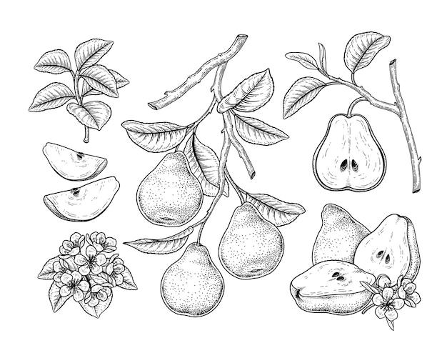 Pear fruits tekeningen.